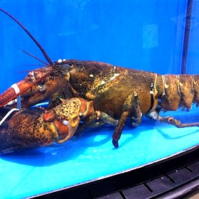 16.5 Pounds Lobster - Estimated 50 Years Old