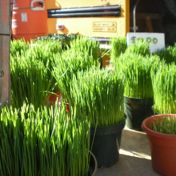 Wheatgrass @ Union Square Greenmarket