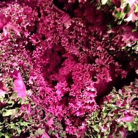 Purple Kale  - Michael's On East, Sarasota, FL