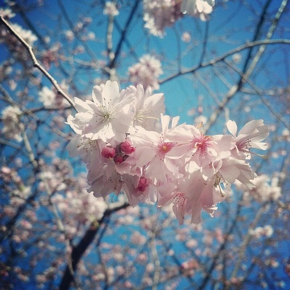Cherry Blossoms  - Le Viet, Philadelphia, PA