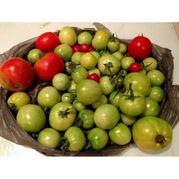 Picked tomatoes off a neglected kiddie . I have no shame . Eventually the green tomatoes will turn red. for @ Sow a Seed