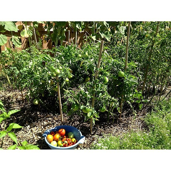 Tomatoes are still growing. Poured milk in the soil. Noticing less blight @ Sow a Seed