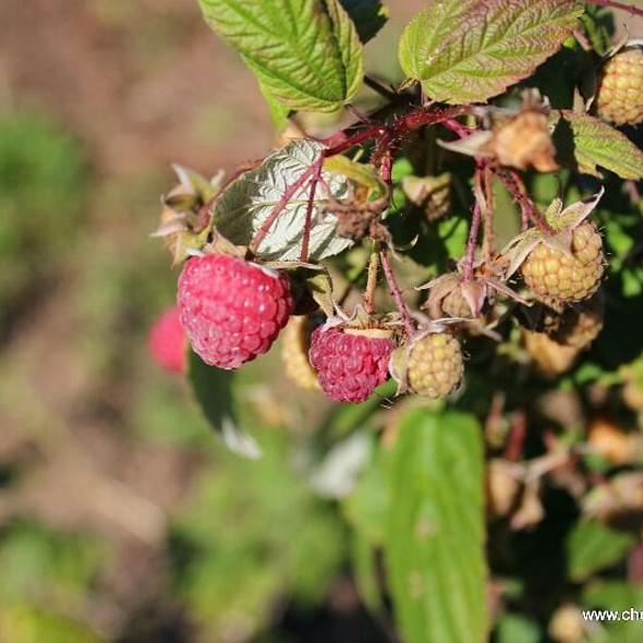 Raspberries @ Raspberries At Quail Hill Farm