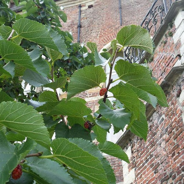 Blackberries @ Arenberg Castle