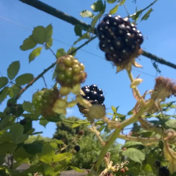 Rasberries @ Sir Aqua Garden