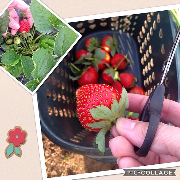Fresh Strawberries @ La Trinidad Strawberry Farm