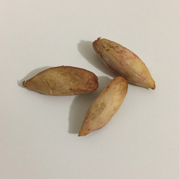 Terminalia Catappa Nuts