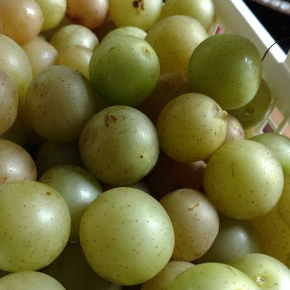 scuppernong Southern Grapes