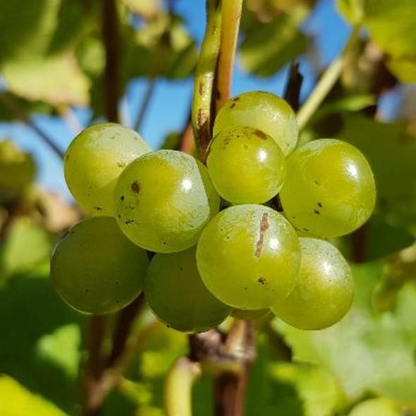 Trauben Obst Früchte