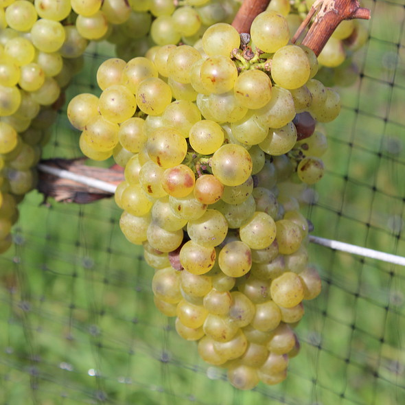 Grapes on the Vine at Wolffer Estates